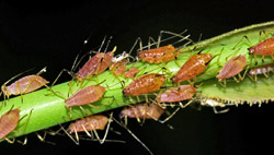 Aphids. Image: iStock