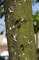 Scale insects on a tree. Image: iStock